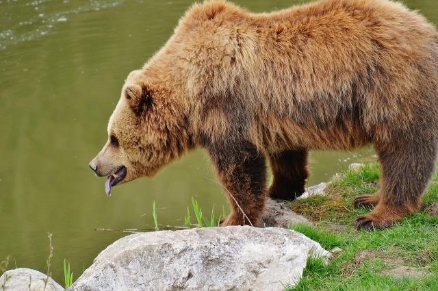 https://pixabay.com/de/b%C3%A4r-wildpark-poing-braunb%C3%A4r-1315132/