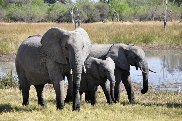 https://pixabay.com/de/elefanten-afrika-okavango-delta-55255/