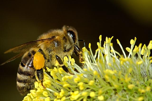 https://pixabay.com/de/bienen-pollination-insekt-makro-18192/
