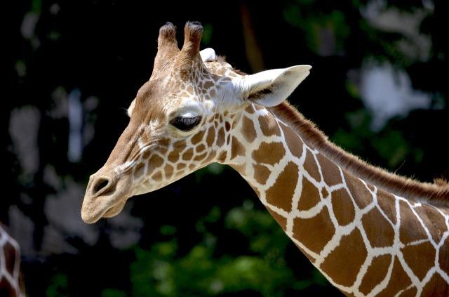 https://pixabay.com/de/giraffe-netzgiraffe-hals-sch%C3%B6n-1471010/