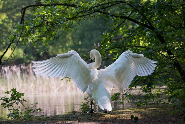 https://pixabay.com/de/schwan-m%C3%A4nnchen-wasservogel-natur-341327/