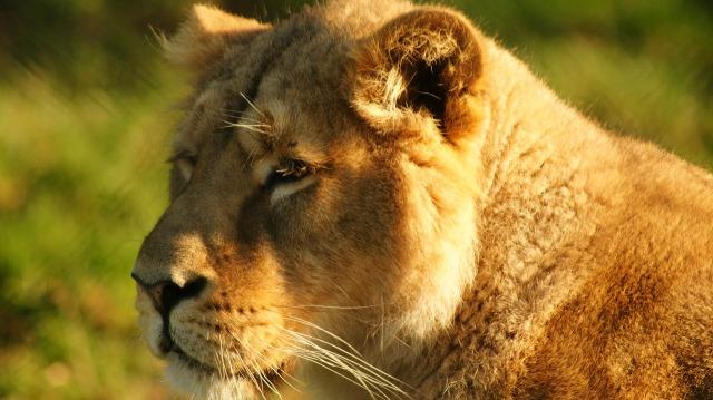 https://pixabay.com/de/l%C3%B6win-katzen-bigcat-weiblich-natur-1252919/