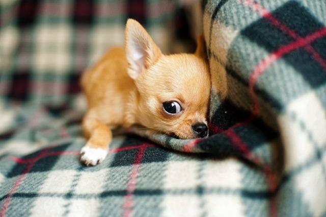 https://pixabay.com/de/chihuahua-welpen-chihuahua-hund-958203/
