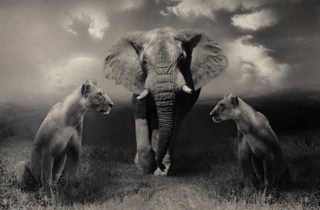 https://pixabay.com/de/l%C3%B6winnen-l%C3%B6we-elefant-grosskatzen-644822/