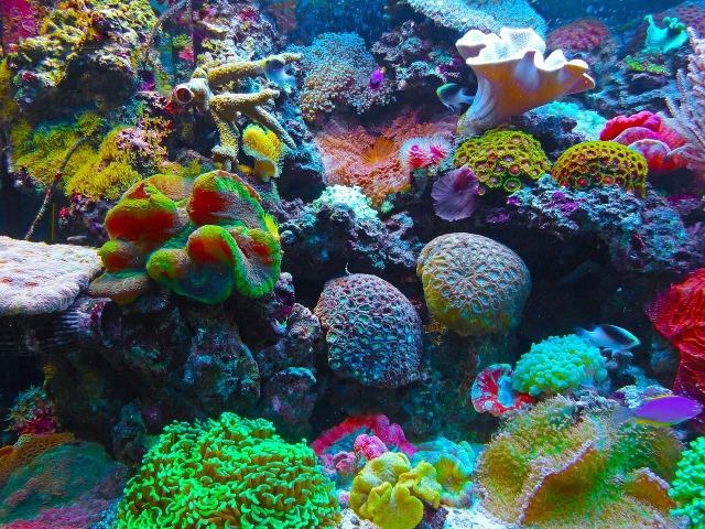 https://pixabay.com/de/koralle-korallenriff-riff-meer-567688/