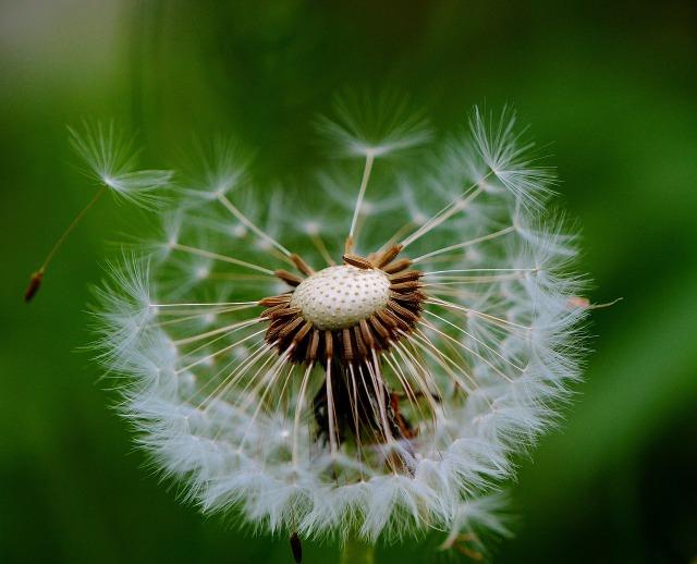 https://pixabay.com/de/pusteblume-pflanze-natur-blume-766647/