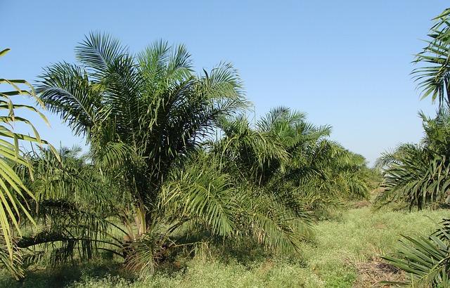 https://pixabay.com/de/palm%C3%B6l-baum-plantage-gartenbau-287878/