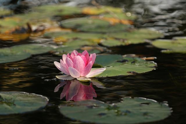 https://pixabay.com/de/sch%C3%B6nheit-blume-lotus-meditation-1845520/