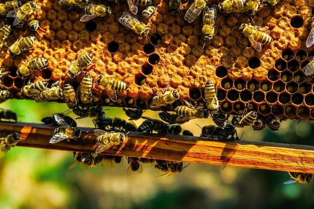 https://pixabay.com/de/bienen-insekten-honig-wabe-makro-1818531/