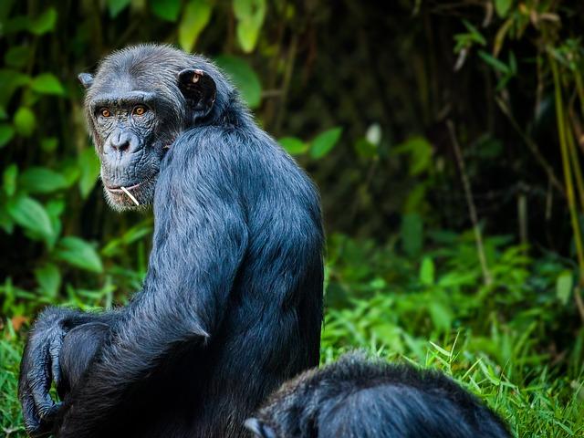 https://pixabay.com/de/chimpanzee-affe-menschenaffe-1545010/