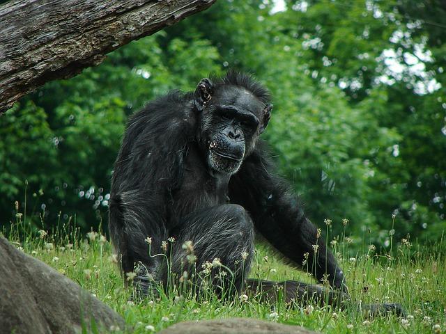 https://pixabay.com/de/schimpanse-tier-tierwelt-natur-1427433/