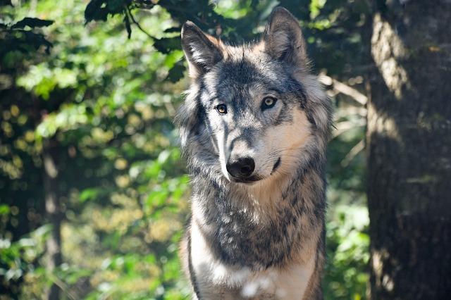https://pixabay.com/de/wolf-predator-grau-tier-wild-2782616/