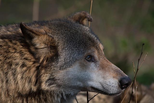 https://pixabay.com/de/wolf-tier-canis-lupus-raubtier-514127/