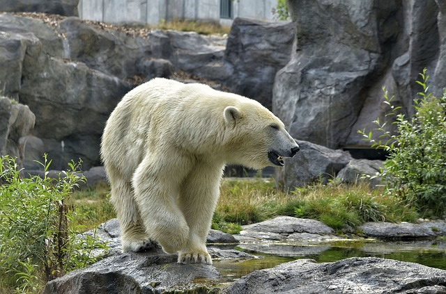 https://pixabay.com/de/eisb%C3%A4r-zoo-tierpark-polarb%C3%A4r-fell-2641842/