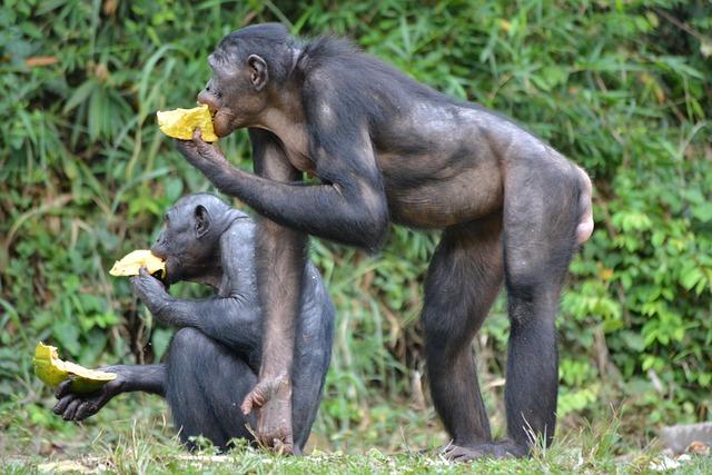 https://pixabay.com/de/bonobo-primas-affe-lola-ya-bonobo-2139562/