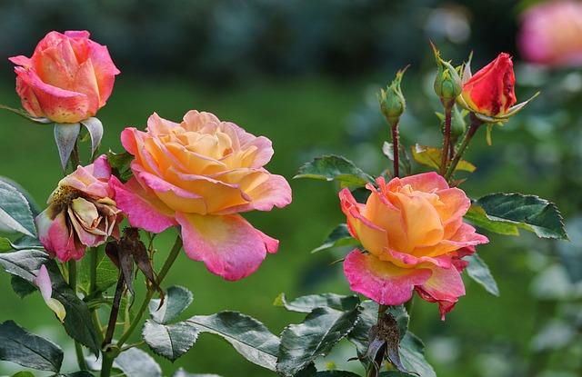 https://pixabay.com/de/rosen-rosa-gelb-bl%C3%BCte-gartenrosen-2947934/