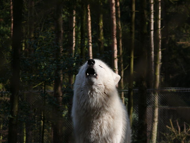 https://upload.wikimedia.org/wikipedia/commons/thumb/1/11/Wolf_598.JPG/640px-Wolf_598.JPG