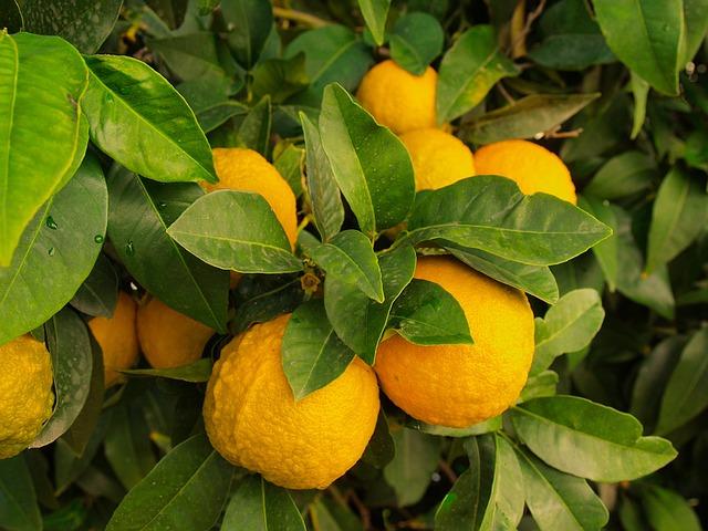 https://pixabay.com/photos/lemons-tree-wild-fruit-citrus-1368367/