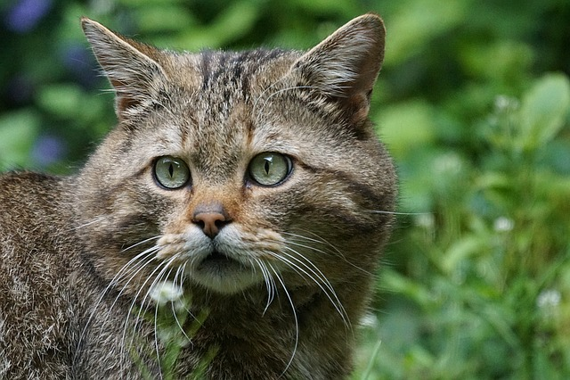 https://pixabay.com/photos/wildcat-forest-cat-predator-1382177/