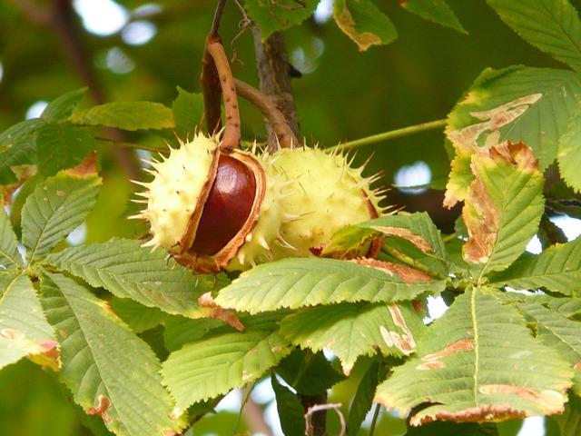 https://pixabay.com/photos/chestnut-chestnut-tree-tree-branch-60345/
