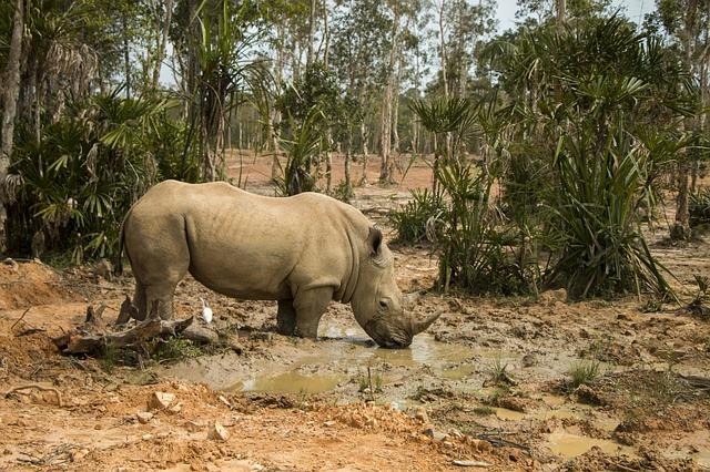 https://pixabay.com/photos/rhinoceros-safari-animal-nature-3305256/