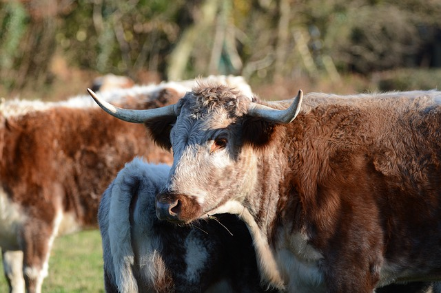 https://pixabay.com/photos/cow-bull-cattle-horns-3839440/