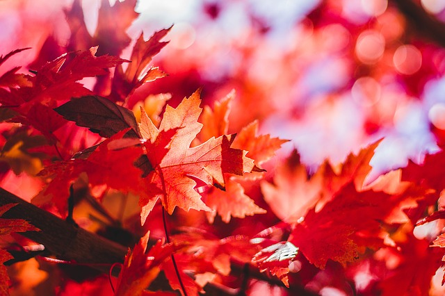 https://pixabay.com/photos/maple-leaf-leaves-leaf-red-maple-1209695/
