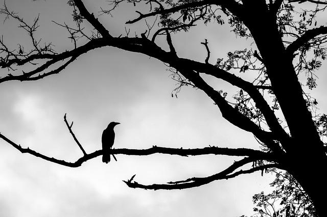 https://pixabay.com/photos/crow-tree-outlines-silhouette-4270168/