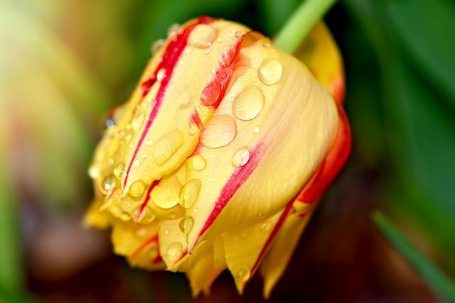 https://pixabay.com/photos/tulip-flower-garden-blossom-bloom-813511/