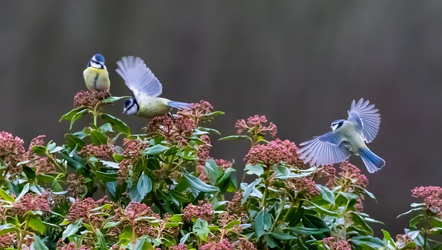 https://pixabay.com/de/photos/blaumeise-fliegen-tit-meise-4734759/