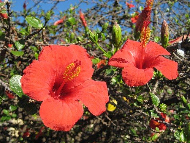 https://pixabay.com/de/photos/madeira-malve-blume-rot-1976888/