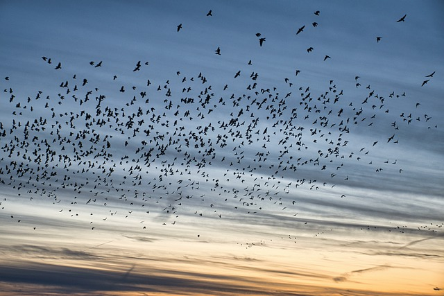 https://pixabay.com/de/photos/vogelschar-schwarm-vogelschwarm-6031662/