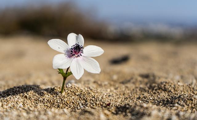 https://pixabay.com/de/photos/blume-wei%c3%9f-sand-strand-5887450/