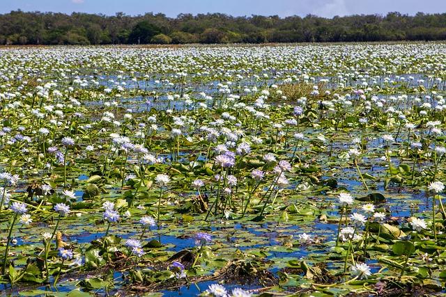 https://pixabay.com/de/photos/seerosen-blumen-fluss-sumpf-lotus-6240363/